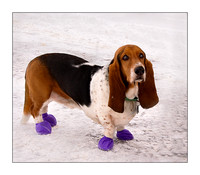 Basset Hound with Purple Shoes